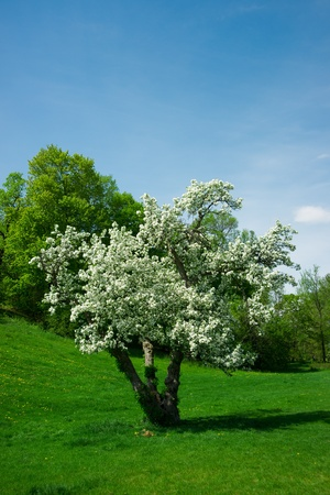 gass: A young cherry tree covered in thick white blossoms in spring in the arboretum gardens in Ottawa, Ontario Canada. Stock Photo