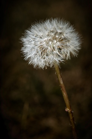 seeding: A closeup macro image of a ripe commone dandelion gone to seed.