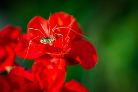 harvestman: Macro, extreme close-up image of a Daddy Longlegs, or Phalangium opilio harvestman, sitting on a red flower.