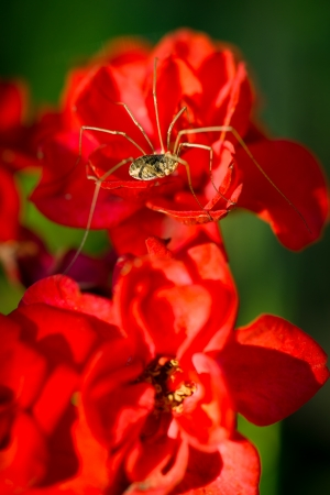 longlegs: A macro, close-up image of a Daddy Longlegs Harvestman spider( Phalangium opilio ) sitting on a grouping of red flowers.