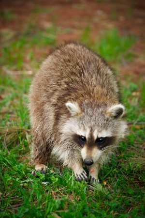procyon: Close-up image of a common North American raccoon (Procyon lotor).