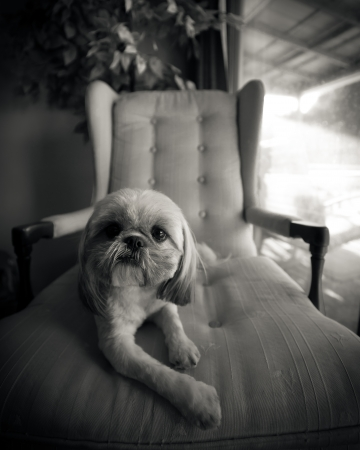 A Small Shih Tzu Dog Relaxes On Lounge Chair, Shot In Black And White.