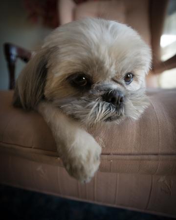 occhi tristi: Close-up di un molto carino piccolo Shih Tzu cucciolo di cane,, bianco oziavano su una grande sedia.