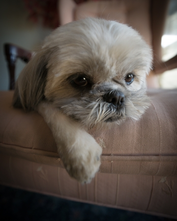 Close-up of a very cute, small, white Shih Tzu puppy dog lazed on a large chair. Archivio Fotografico