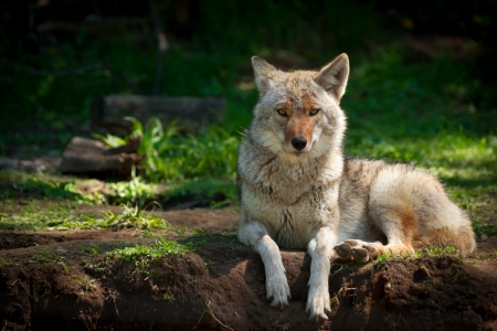 trickster: A beautiful North American Coyote (Canis latrans) stares into the camera as it lies on a dirt patch in a  Canadian forest.