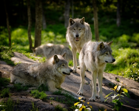 A small pack of three Eastern timber wolves gather on a rocky slope in the North American wilderness. 스톡 콘텐츠