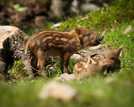 A group of baby wild boar or wild pigs (Sus scrofa) in the green grass of the summer sun. Stock Photo