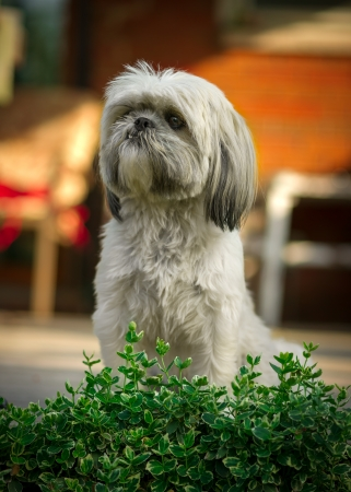 A small, white Shih-Tzu dog sits with focused attention behind the leaves of a green bush. photo