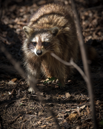 procyon: A common North American racoon stands staring in rough terrain