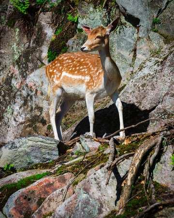 A small, young fallow deer fawn stands looking on a stone rock face  photo