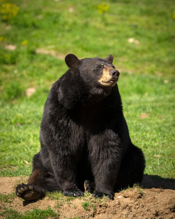 american content: A large Eastern American black bear  Ursus americanus  sits in the bright sun
