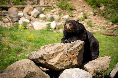oso negro: Una gran oriental oso negro americano Ursus americanus descansa en sí sobre un montón de piedras rocosas