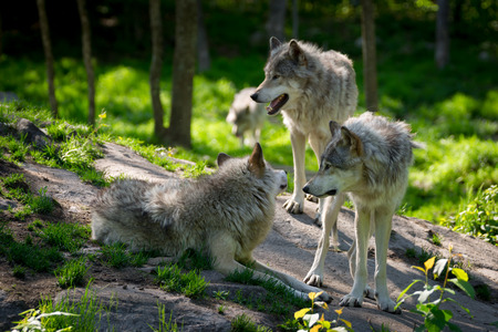 A small wolf pack with three wolves gathered on rocks in a Canadian forest in the foreground and one wolf approaching in the distance  Stock Photo