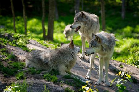 Een kleine wolf pack met drie wolven verzameld op rotsen in een Canadees bos in de voorgrond en een wolf nadert in de verte Stockfoto