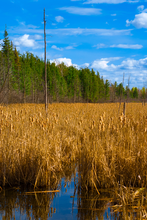 bullrush: A flooded marsh in summer is home to an entire field of yellow cattail reeds under a bright, blue sky  Stock Photo