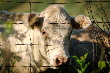 closeup cow face: Closeup of the face and head of a white cow looking through a wire fence.