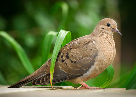 Close up of young mourning dove (Zenaida macroura) in full profile.