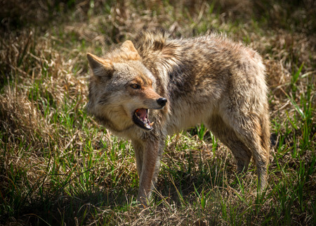 canid: A vicious and angry looking North American coyote  Canis latrans  closeup.