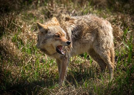 perro furioso: Un coyote norteamericano vicioso y enojado mirando Canis latrans primer.