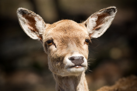 Close up shot of the head and face of a very cute young deer fawn.