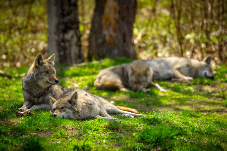 north american: A pack of North American Coyotes lazily rest and sleep in a Canadian forest. Stock Photo