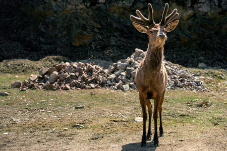 A curious elk, or Wapiti, ( Cervus canadensis ) in early spring velvet looks humorously at the viewer.