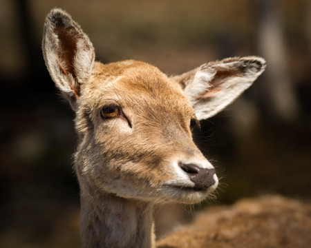 A Close up photo of the head and face of a very cute, young baby deer fawn. Standard-Bild