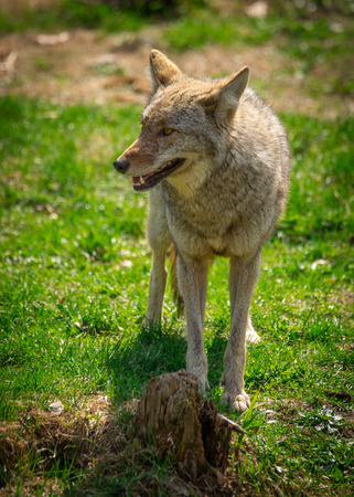 canid: A common North American Coyote ( Canis Latrans ) standing on grass. Stock Photo