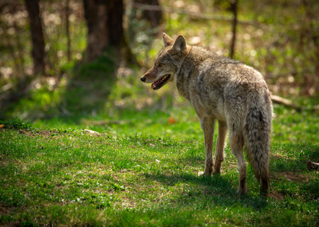 A common North American coyote ( Canis Latrans) captured from the rear and looking to the left. 스톡 콘텐츠