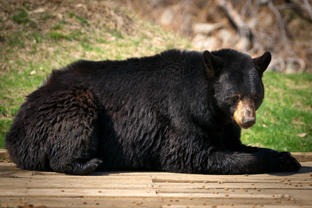 wet bear: A lazy and large North American Black Bear ( Ursus Americanus) lies down and looks at the camera.