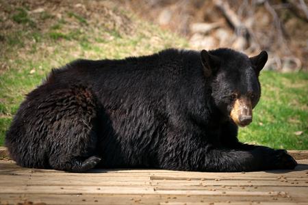 oso: Un oso perezoso y grandes de América del Norte Negro (Ursus americanus) se acuesta y mira a la cámara. Foto de archivo
