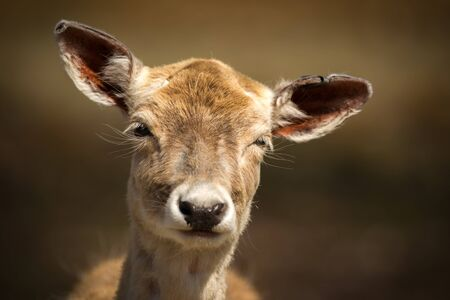 baby deer: A close-up image of the face of a very cute, young baby deer making a funny facial expression.