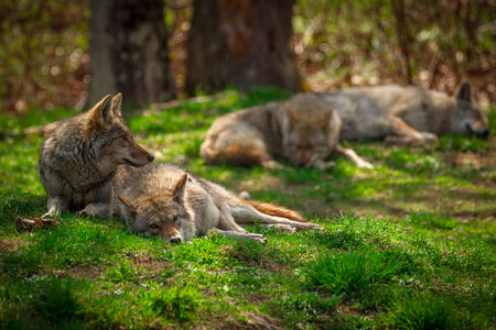 north american: A Pack of four North American Coyotes ( Canis Latrans) rests and sleeps lazily in a Canadian forest clearing.
