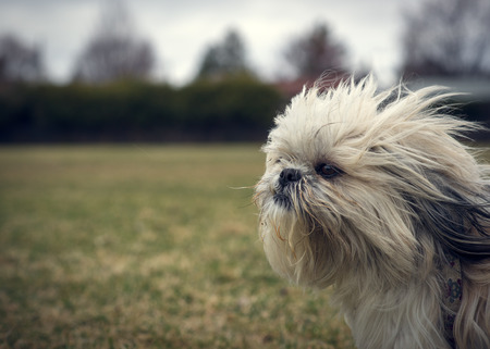 shih tzu: A cute, long-haired, ungroomed Shih Tzu dog facing into a strong wind closeup with lots of copy-space.