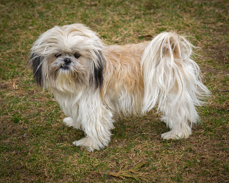 A small cute unkempt and scruffy Shih Tzu dog standing in full profile.