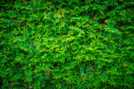 Close-up of the deep, rich green leaves of a cedar hedge wall, useful as a background image.