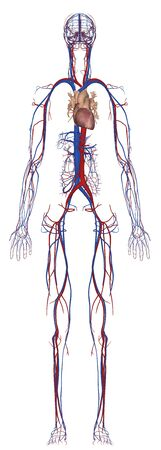 Human Anatomy Female Circulatory System From Front Standard-Bild - 142559378