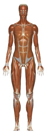 Human Anatomy Female Muscular System From Front Standard-Bild - 142559391