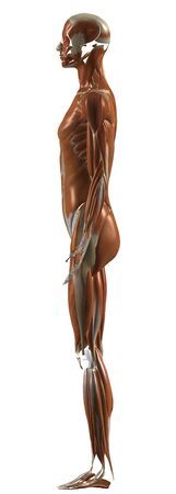 Human Anatomy Female Muscular System From Left Standard-Bild - 142559388