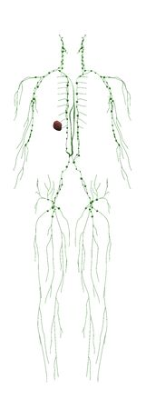 Human Anatomy Male Lymphatic System From Back