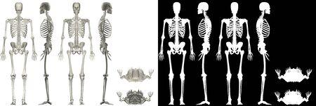 Human Anatomy Male Skeletal System
