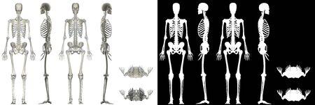 Human Anatomy Female Skeletal System