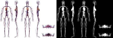 Human Anatomy Male Cardiovascular System