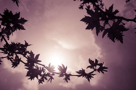 hazy: Hazy Silhouette of leaves