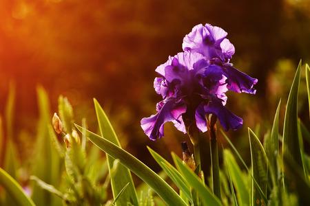 purple irises: Beautiful purple irises in the summer garden, filtered image with flare sun light
