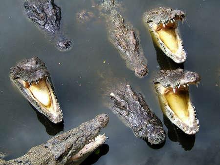 wil: Crocodiles in water
