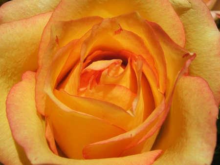 Yellow - orange rose close-up Stock Photo
