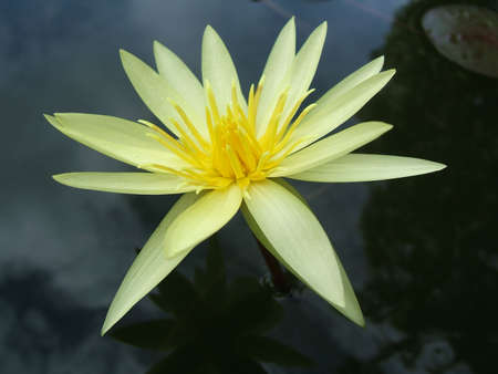 Yellow water lily close-up Stock Photo