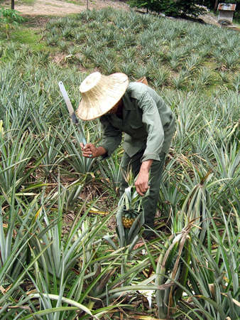 Man working in a pineapple plantation in Thailand Stock Photo