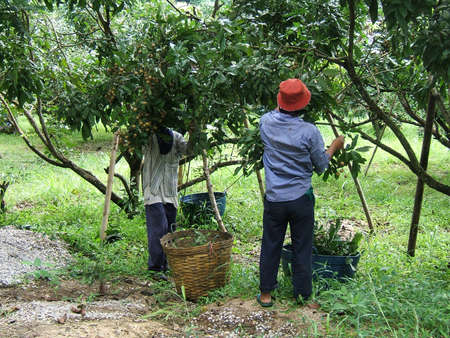 Men working in a longan fruit plantation in Thailand